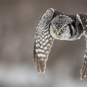 Nothern Hawk Owl by Rolland Gelly - Animals Birds ( rolland quebec canada )