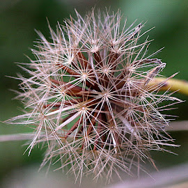 A Late Seedhead by Chrissie Barrow - Nature Up Close Other plants ( hawkweed, pattern, nature, green, seeds, brown, bokeh, cream, closeup, seedhead )