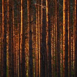 Gold forrest by Elisabeth Johansson - Nature Up Close Trees & Bushes ( sweden, norrbotten, forrest, summer, trees, night, light )