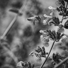 Bee  by Todd Reynolds - Black & White Flowers & Plants