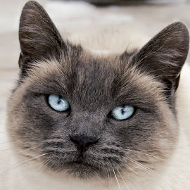 Blue by Jessica Pacheco - Animals - Cats Portraits ( cats, siamese )