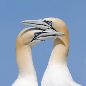 by Harry Eggens - Animals Birds ( north atlantic, scotland, fish, rock, north, atlantic, birds, bass rock, united kingdom, photography, herring )