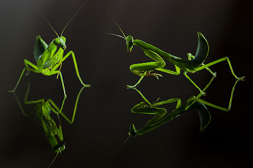 Mantis Discussion by Boim Wahyudi - Animals Insects & Spiders ( macro, mantis, stage, light, conceptual )