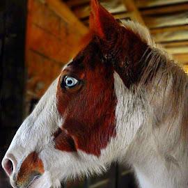 Alicorn by Sumandhi Fox - Animals Horses (  )