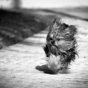 Run, Chanel, Run by Sergio Yorick - Black & White Animals ( black and white, dog playing, dog, running, animal,  )