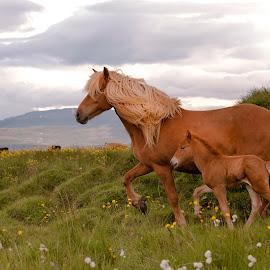 Ísold and Tristan by Anna Guðmundsdóttir - Animals Horses ( mare, ísold, iceland, icelandic horses, tristan, horses, outdoor, anna guðmundsdóttir, summer, ísland, foal, animal )