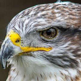 Ferruginous by Garry Chisholm - Animals Birds ( bird, nature, prey, raptor )