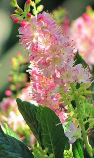 Clethra Jigsaw Puzzles - screenshot