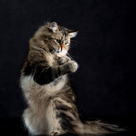 Boxing Cat by Blair Wright - Animals - Cats Playing ( cat, pet, siberian cat, siberian, portrait, animal )