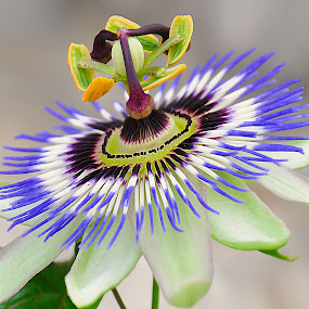 by Manuela Dedić - Flowers Single Flower (  )