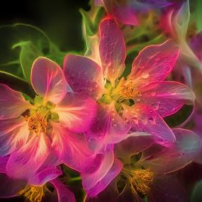 Apple Blossom by Antonio Navarro - Flowers Tree Blossoms