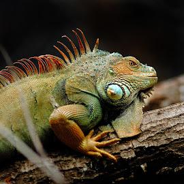 La lenteur de l'iguane by Gérard CHATENET - Animals Reptiles