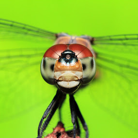 sharp eyes of a dragonfly. by De Base - Animals Insects & Spiders