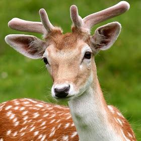 deer_head2.JPG