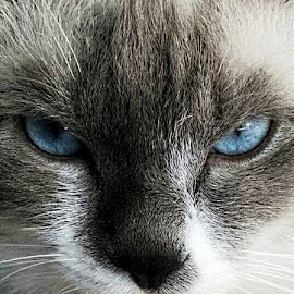 Seth by Gary Salcedo - Animals - Cats Portraits ( mammals, cats, animals, wild life, kittens )