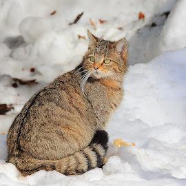 Chat forestier sur la neige by Gérard CHATENET - Animals - Cats Portraits