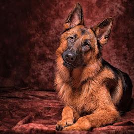 german sheperd by 'Monique Smit - Animals - Dogs Portraits ( studio, breed, german sheperd, dog, animal )