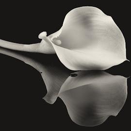 Kalia Lily by Simon Hall - Black & White Flowers & Plants (  )