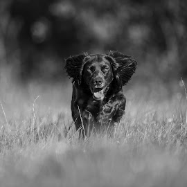Running by Ronnie Bergström - Animals - Dogs Running ( nature, black, run, grey, running, b&w, hund, sweden, grass, dogs, animal, black and white, animals, dog, landscape )