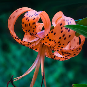 Tiger Too by Paula Eagle - Nature Up Close Flowers - 2011-2013 ( tiger lily )