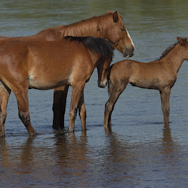 wild horses by Dave . - Animals Horses ( wild, nature, horses, wildlife, river, foal, wild horses,  )