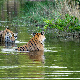 Chasing eyes by Sandip Saha - Animals Lions, Tigers & Big Cats ( sub adult, bandhavgarh, tiger, india, cubs )