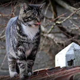 Cat on the roof 2 by Dirk Van Esbroeck - Animals - Cats Playing