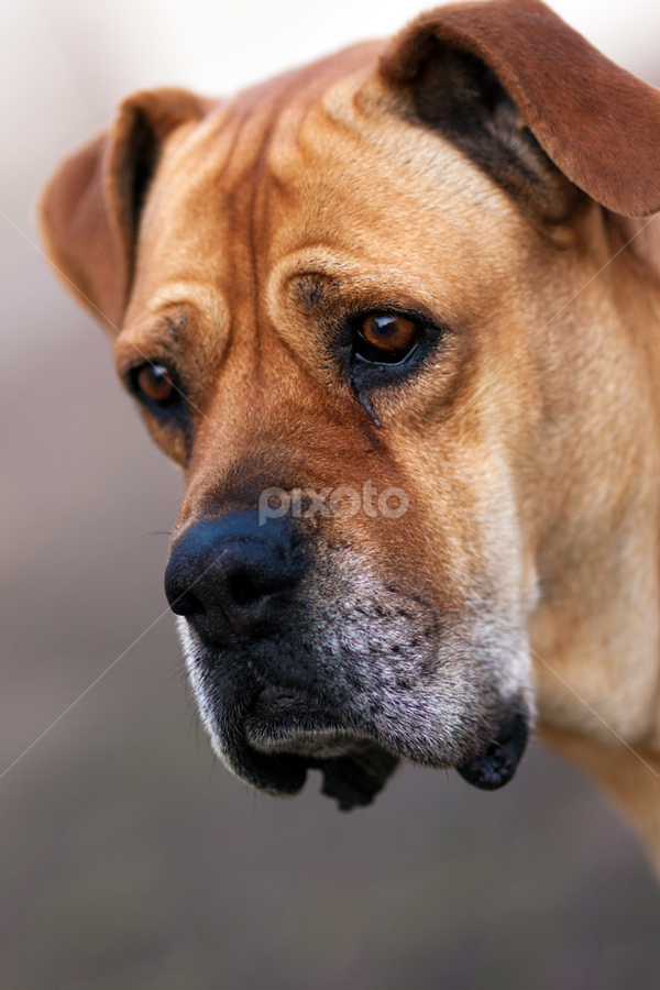 molly by Linda Stander - Animals - Dogs Portraits ( dog, animal. tan )