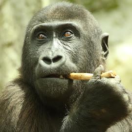 Well i'm Sherlock Who's Holmes by Ralph Harvey - Animals Other Mammals ( chessington zoo, gorilla, wildlife, ralph harvey, animal )