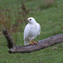 Grey Goshawk (white morph)