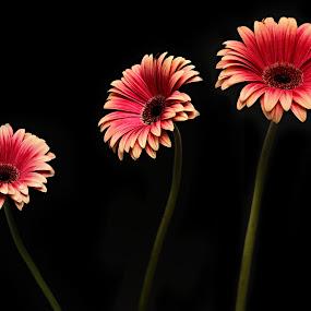 Three of a Kind by Jen Millard - Artistic Objects Other Objects ( simple, daisy, flower )