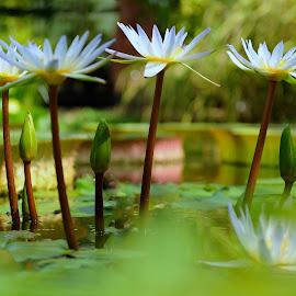 by Tomasz Budziak - Flowers Flowers in the Wild ( water flower, nature up close, flowers )