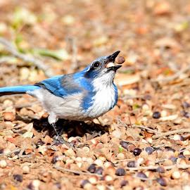 One, two, three..... by Donalee Eiri - Animals Birds ( bird, scrub jay, bird photography, animal, acorns )