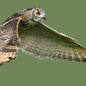 Owl in flight by Helen Matten - Animals Birds ( flight, solid, sage, green, background, owl, in, owl in flight.,  )