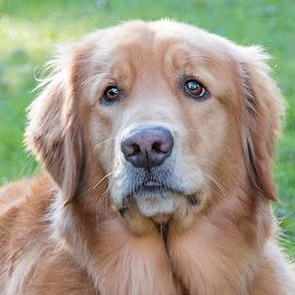 Looking Sad by Sue Matsunaga - Animals - Dogs Portraits