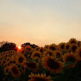 Sun Sets over Sunflower Field by Kristine Nicholas - Novices Only Flowers & Plants ( clouds, macro, sky, nature, colorful, color, sunset, green, nature up close, pink, leaf, gold, yellow, leaves, flowers, flower )