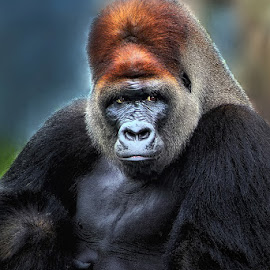 Mr. Gorilla by Dragan Milovanovic - Animals Other Mammals