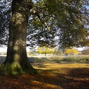 Trees in Tatton Park by Hazel Cussons - Backgrounds Nature ( walks, veiw, autumn, sunny, trees )