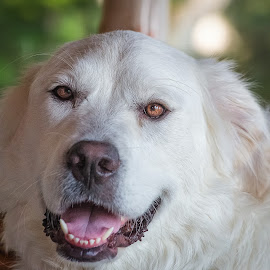 Great Pyrenees by Dave Lipchen - Animals - Dogs Portraits ( great pyrenees )