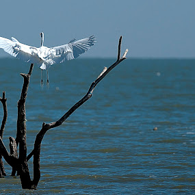Great Egret flyibg by Cristobal Garciaferro Rubio - Animals Birds ( lagoon, tree, wings, lake, egret, great egret )
