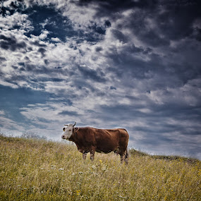 Cow at Bozica Village by Pavle Randjelovic - Landscapes Prairies, Meadows & Fields