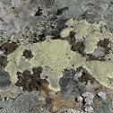 Golden Moonglow Lichen