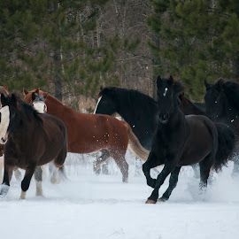 Together by Daniel Thomas - Animals Horses ( winter, horses, snow, running, animal,  )