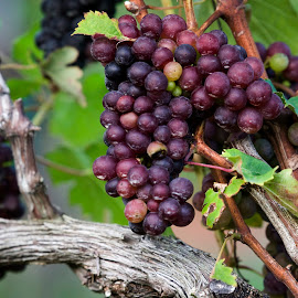 Ripening in the sun by Steven Faucette - Food & Drink Fruits & Vegetables ( vineyard, grapes )
