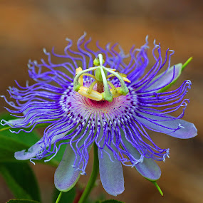 Passion! by Anthony Goldman - Flowers Single Flower ( nature, garden, passion flower, florida., garden bok tower, wild, lake wales, colors, flower )
