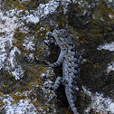Clark's spiny lizard