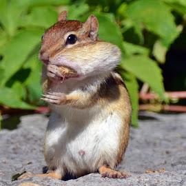 yummy by Isabelle VM - Animals Other Mammals ( chipmunk, closeup, animal )