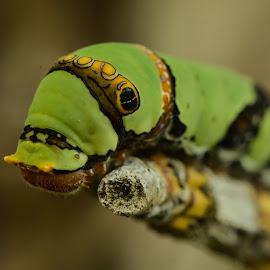 Hi mr caterpillar by Jarot Prasetyo - Animals Insects & Spiders ( macro, nature, macro photography, nature up close, nature close up, caterpillar, insect, natural, animal )