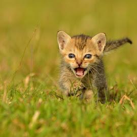 Kitten by Jawahar Srinath - Animals - Cats Kittens ( pet portrait, pet photography, animals, kitten, cat, cat eyes, pet, portrait, daylight, animal )