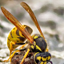 Lunch time by Radu Eftimie - Animals Insects & Spiders ( macro, wasp, lunch )